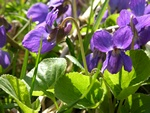 Sweet Violet (Viola odorata)
